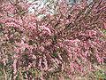Leptospermum laevigatum1.jpg