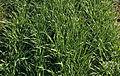 Les Plantes Cultivades. Cereals. Imatge 134.jpg