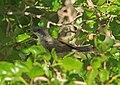 Lesser Whitethroat (Sylvia curruca) (16909310840).jpg