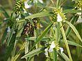 Leucas lavandulifolia Sm. (8581388949).jpg