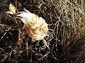 Leuzea conifera.jpg
