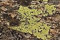 Lichen (16757433436).jpg