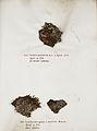 Lichenes Helvetici IX X 1833 011.jpg