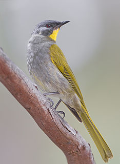 Yellow-throated honeyeater species of bird