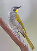 Yellow-throated Honeyeater - Photo (c) JJ Harrison, some rights reserved (CC BY-SA)