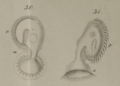 Licnophora auerbachii drawing by Cohn, 1866.png