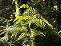Lighted Ferns - panoramio.jpg