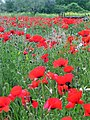 Like a painting, poppies at Lake Bracciano, Rome, Italy.jpg