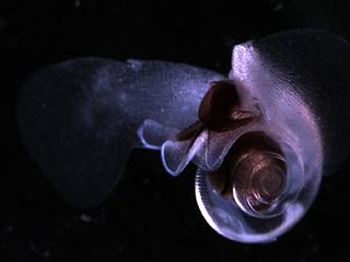 <i>Limacina helicina</i> species of mollusc