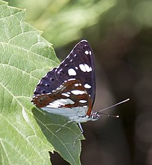 Limenitis reducta 1.jpg
