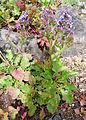 Limonium brassicifolium kz1.JPG