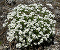 Linanthus nuttallii var pubescens 1.jpg