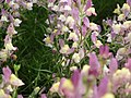 Linaria from Lalbagh flower show Aug 2013 7946.JPG