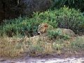 Lion (Panthera leo) (7667128894).jpg