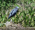 Little Blue Herons (33938788870).jpg