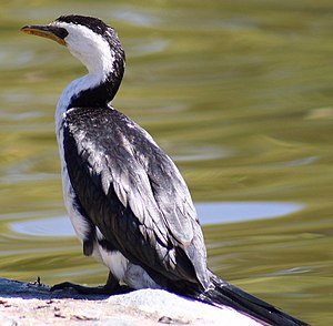 Little Pied Cormorant Kings Park1 email.jpg
