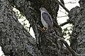 Little Sparrowhawk (Accipiter minullus) (17330272436).jpg