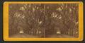 Live Oak Avenue, Bonaventure Cemetery, Savannah, Ga, from Robert N. Dennis collection of stereoscopic views 3.png