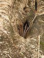Lizard Tokay Gekko gecko IMG 0881 01.jpg