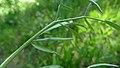 Lomatium triternatum var. anomalum 5.jpg