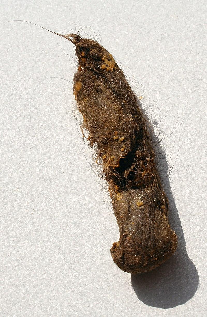 Boule de poils d'un chat à poils longs.