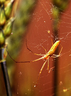 Long-jawed orb weaver spider.jpg