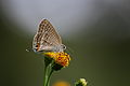 Long-tailed Blue (10098880195).jpg