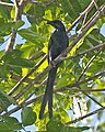 Long-tailed Starling (Aplonis magna).jpg