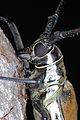 Longhorn Beetle (Batocera numitor ferruginea) (8756587791).jpg