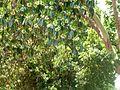 Lophostemon confertus, loof en blomme, Pretoria, c.jpg