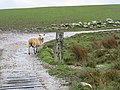 Lost sheep on farm track. - geograph.org.uk - 368111.jpg