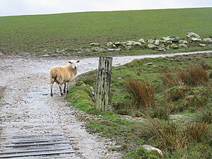 English: Lost sheep on farm track.