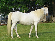 A broodmare. Note slight distension of belly, indicating either early pregnancy or recent foaling.