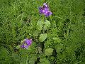 Lunaria annua plant.jpg