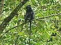 Lutung Jawa (Trachypithecus auratus) in the Raden Soerjo Mojokerto Forest Park, Malang Regency, East Java.jpg
