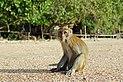 Macaca fascicularis Ao Nang 6.jpg