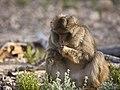 Macaco de Berbería.jpg