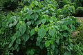 Macaranga peltata 03667.JPG