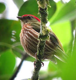 Machaeropterus regulus Saltarín rayado Striped Manakin (male) (8740234052).jpg
