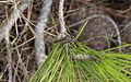Machimus rusticus, Sète 06.jpg