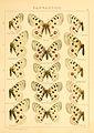 Macrolepidoptera01seitz 0031.jpg