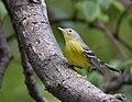Magnolia Warbler (37541821131).jpg