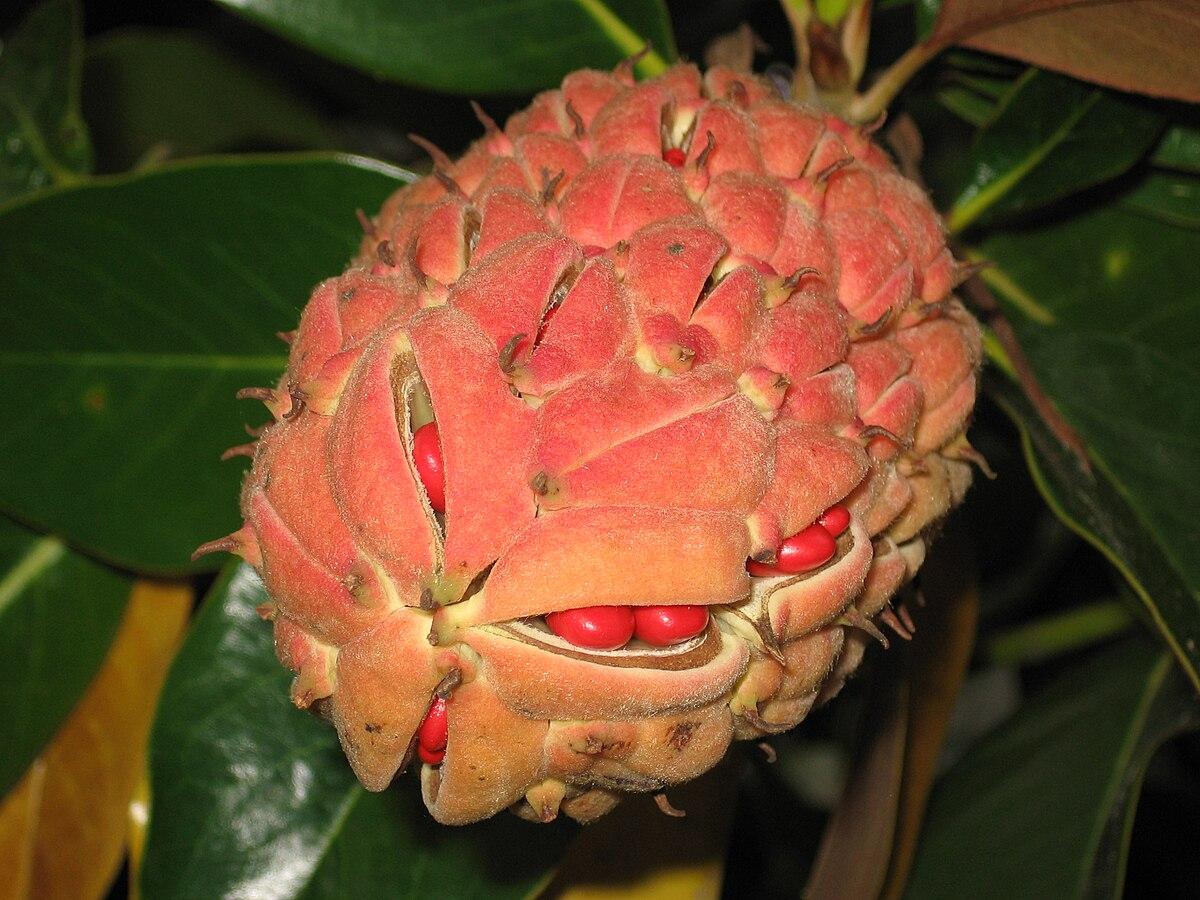 Fruto del magnolio, con las semillas a la vista.
