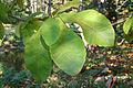 Magnolia hypoleuca x tripetala JPG1b.jpg