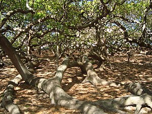 Maior cajueiro do mundo - Photo of the interior of the tree (2011).