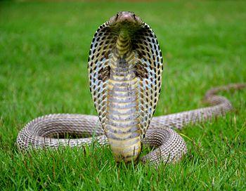 Majestic Cobra.jpg