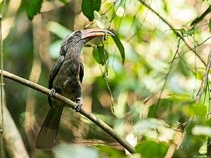 Malabar Grey Hornbill, Aralam Wildlife Sanctuary, Kerala.jpg