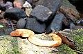 Malabar pit viper basking.jpg