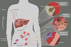 English: Life cycle of malaria, NIH, http://hi...