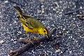 Male Galapagos yellow warbler.jpg